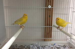 Mon nouveau couple de canari satiné aux yeux rouge