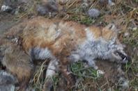 renard  tuée  pour prendre sa qeue :/