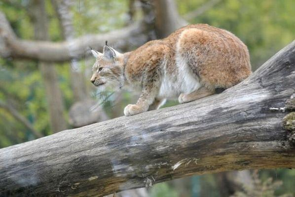 Le cadavre d'un jeune lynx aurait été découvert en Haute-Loire