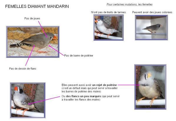 LE DIMANT MANDARIN