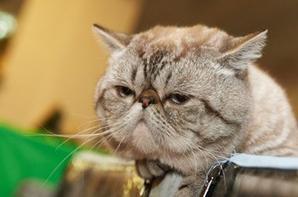 Ma passion pour les chats - Exotic Shorthair