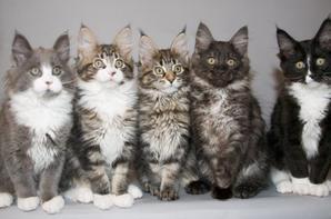 Ma passion pour les chats - Maine Coon
