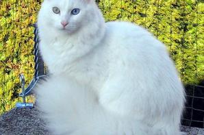 Ma passion pour les chats - L'Angora turc blanc