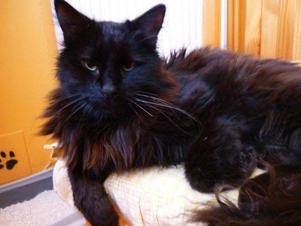 Ma passion poour les chats - L'Angora turc noir ou noir et blanc