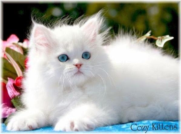 Ma passion pour les chats - LE CHAT BLANC