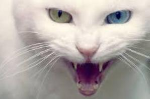 Ma Passion pour les Chats - Le Javanais