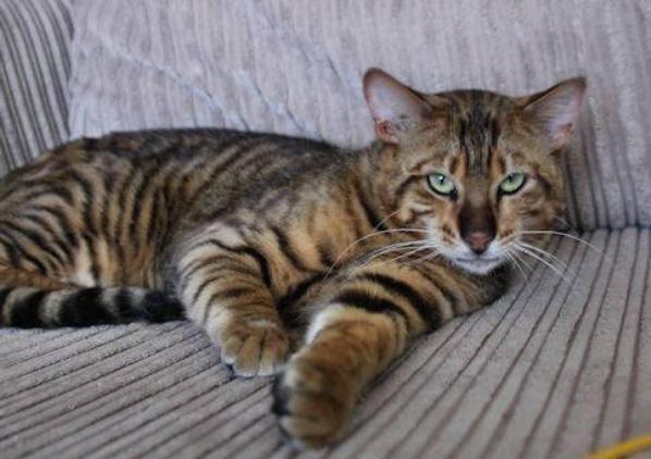 Ma Passion pour les Chats - Le Toyger