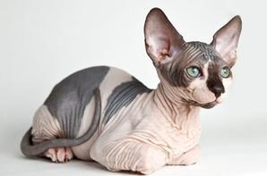 Ma Passion pour les Chats - Le Sphynx