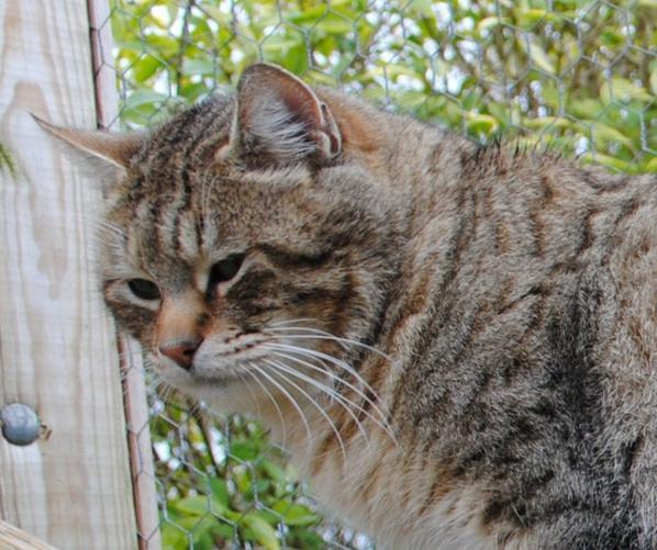 Ma Passion pour les Chats - Le Pixie-bob