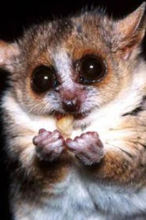 Petit lémurien de Madagascar... en vrai!