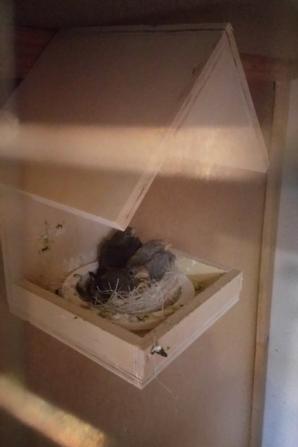 voiçi mes jeunes bouvreuils ponceau qui sortent du nid
