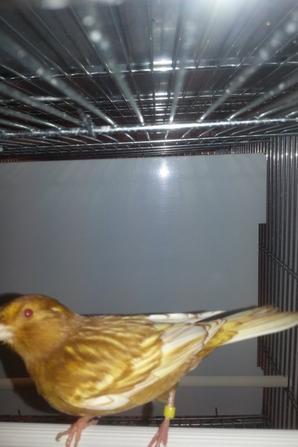 femelle phaeos brun jaune intensifs