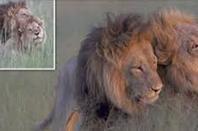 L'histoire d'amour entre deux lions mâles