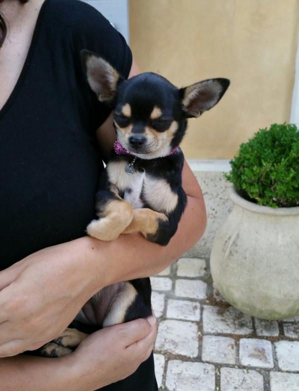 BELLE FEMELLE CHIHUAHUA TRICOLORE DISPONIBLE