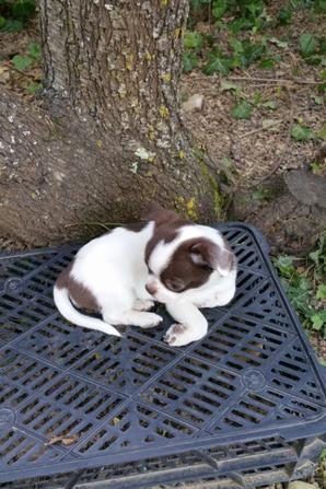 CHIHUAHUA SUPER TYPE CHOCOLAT ET BLANC LOF   DISPONIBLE
