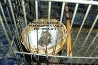 SUITE ÉCLOSION  OUEFS CHARDONNERETS 2013