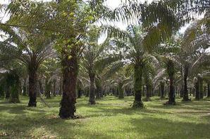 Palmeraie (palmiers à huile rouge)