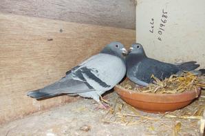 Couples de reproducteurs : les senicourt - 2 fils du Narbonne