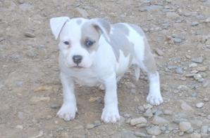 Chiots gucci Good dog's passion / Gun des gardiens de la rose bleue
