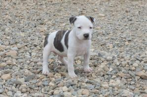 Chiots American staff terrier 7 semaines