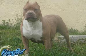 nouveau bully exotic snipe alias lil r pocket star bully ( token x r2