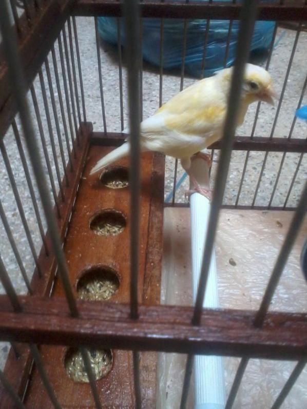 femelle du canari
