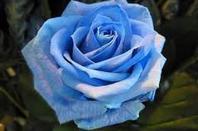 les roses çi comme les femmes