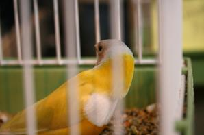 foire oiseaux de PONTIVY . 19.01.2014