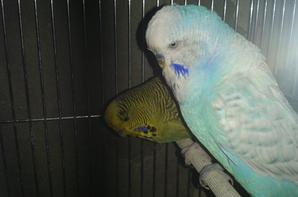 mes perruches anglaises ; et les 2 jeunes mauves; c est quoi leur mutations svp ? MERCI