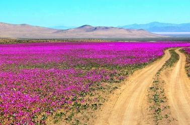 Désert d'Atacama fleuri