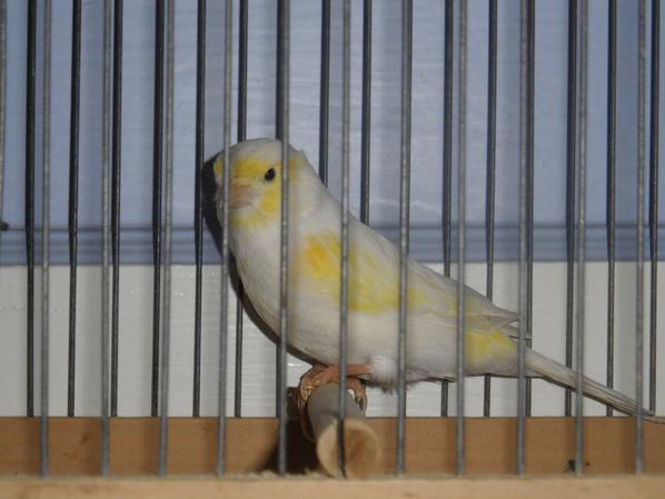 Male mosaique jaune