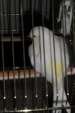 Femelle mosaique jaune