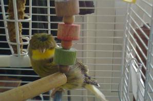 voici mon mâle canaris