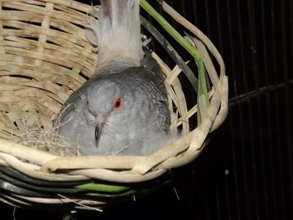 ma femelle colombes diamant au nid