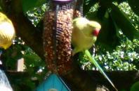 Péruche à collier dans mon jardin