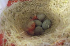 femelle lipo mozaique rouge a deux ( pour l'instant ) :)