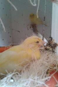 jeunes canaris jaune et harz ( oui se inpeut sale car je ne les derange pas quand il on les oeuf et leur jeunes ) pour l'instant jai 17 jeunes ( baguer )