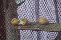 encore une photo des mais jeunes de canaris :pp