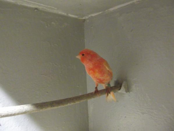 ma femelle schimmel maisbeauoup de temps pour ravoir le beaux plumage quelle avait je la preferrais avant la mue :s