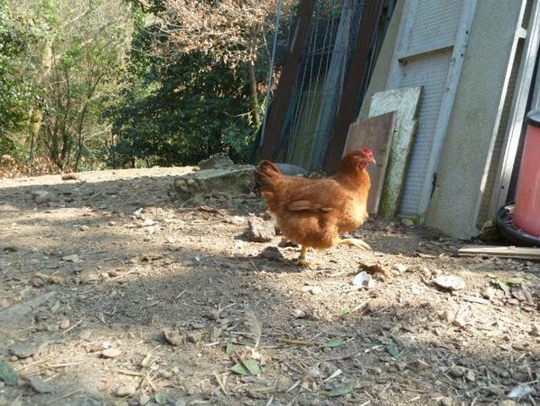 1 poule et 2 coqs basque a vendre