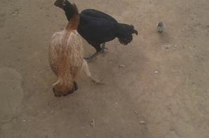 Poule thai bresilienne