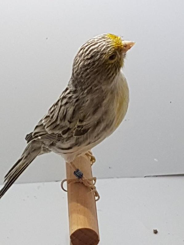 mâle agate mosaïque jaune