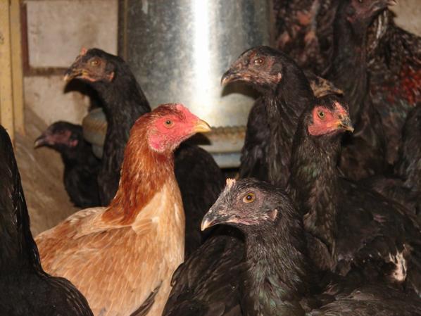 poulettes réunion et grand cobattant du nord