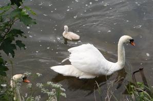 La relève d'une famille de cygnes avec l'espoir qu'ils grandissent en paix   ;)
