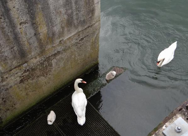 Famille de cygnes dans l'échelle à poissons du barrage de La Plante