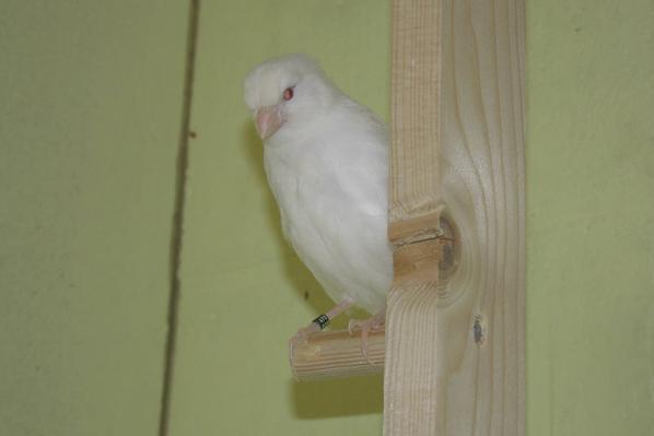 2014 Albino