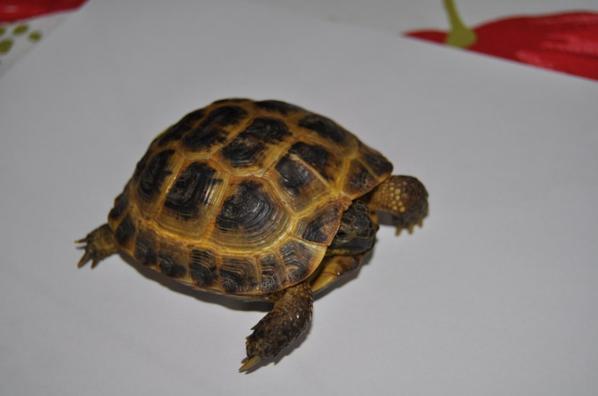 ma nouvelle tortue horsfieldii achetée     05/07/2014