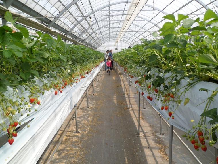 PHOTOS fraises