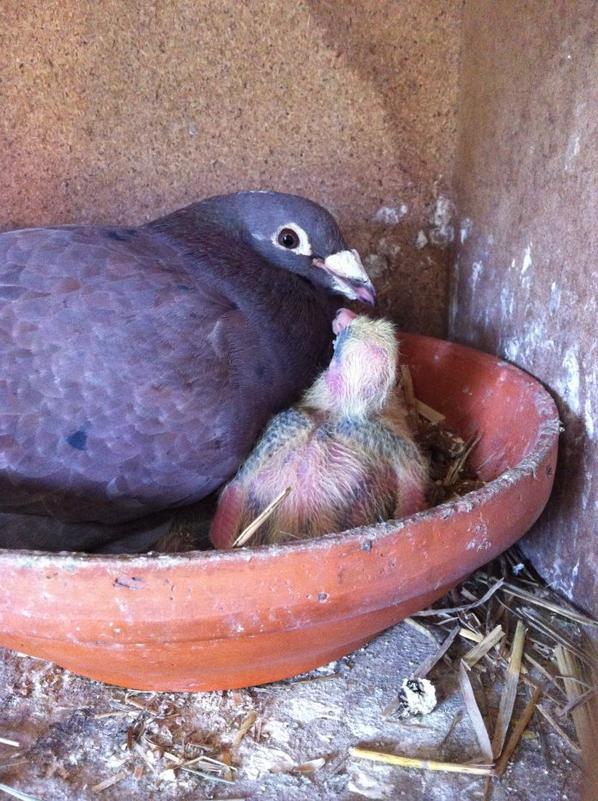 voila mais jeunes de mon rouge et de mon écaillére,hate de voir le plumage et ce qu'il vont donner
