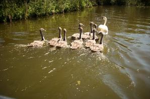 maman cygne et ses bébés :)